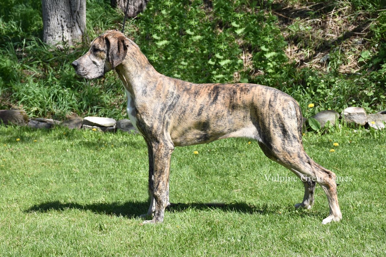 Brindle Merle Girl Jezzie Merle Great Danes Dane Puppies