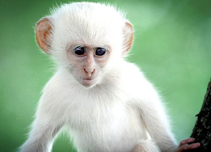 Africa This Rare Albino Vervet Monkey Was Spotted In Kruger