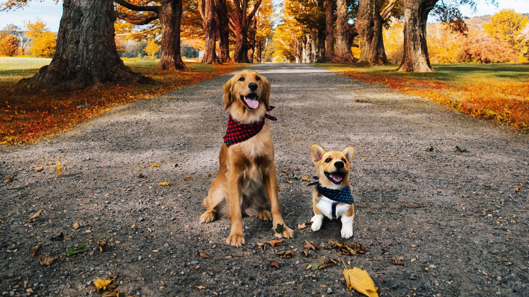 KJP pups Bennie and Apollo Pup, Dogs, Animals
