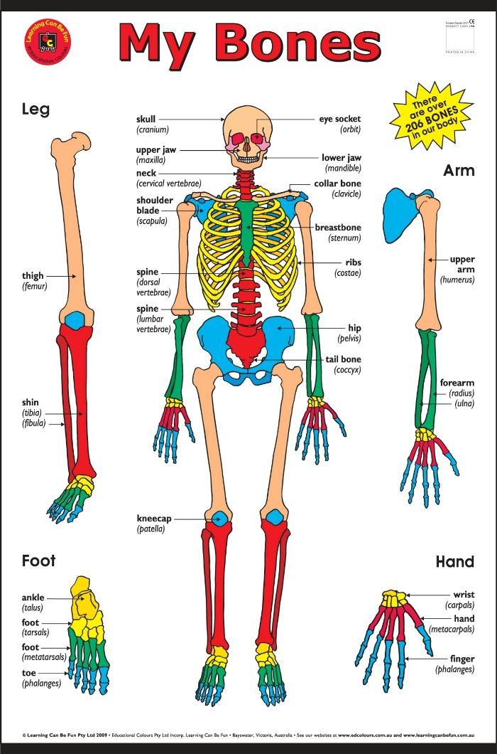 Kids Skeletal System Diagram 2010 Dodge Journey Wiring Bones Of The Human Body My Poster Elizabeth Richards