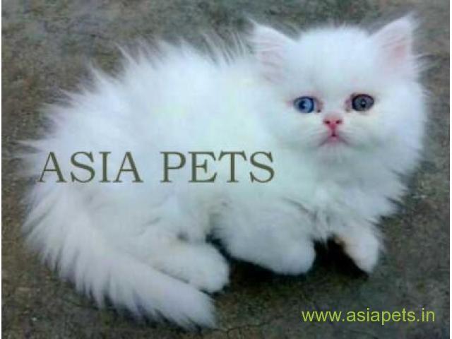 Persian kitten for sale in Delhi, Persian Cat Price in