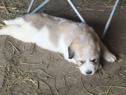 Litter Of 9 Great Pyrenees Puppies For Sale In Sidney Oh Adn 34484 On Puppyfinder Com Gender Male S And Female S Age 4 Weeks Great Pyrenees Puppy Great Pyrenees Puppies For Sale