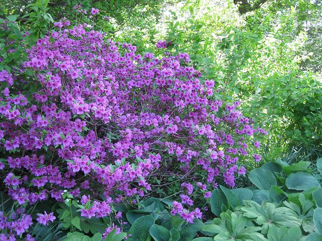 Purple Azalea Bush Azalea Bush Front Yard Landscaping Simple Small Front Yard Landscaping