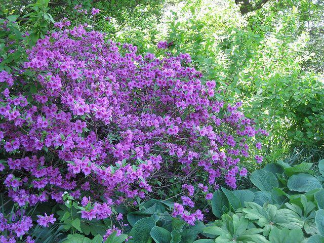 Purple Azalea Bush Azalea Bush Purple Flowers Garden Front Yard Landscaping Simple