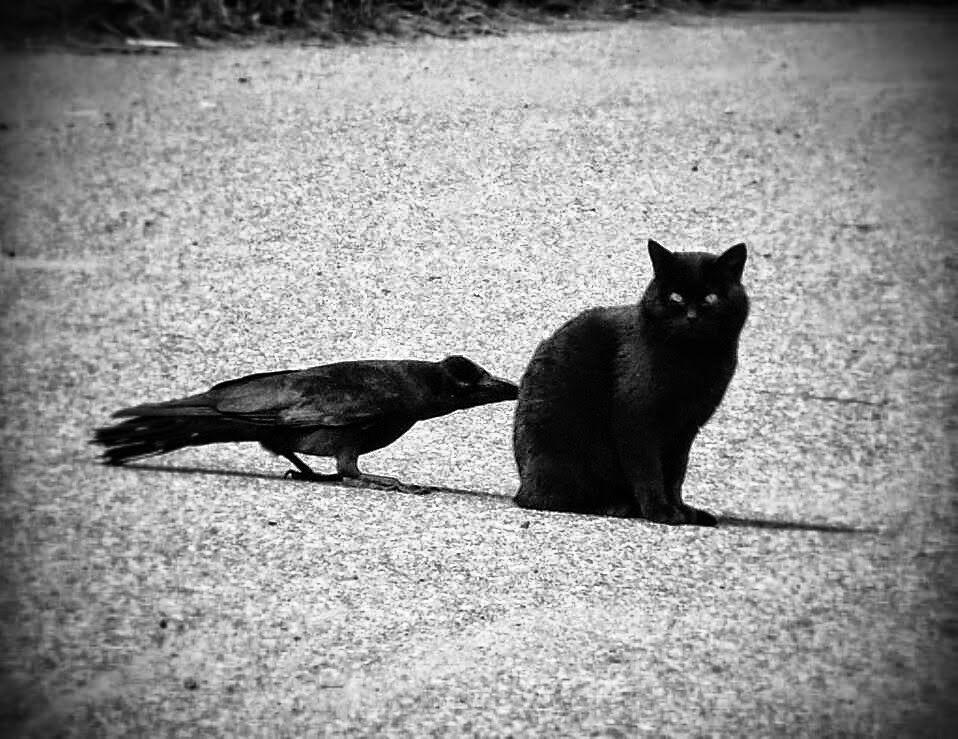 ворона и кот фото когда