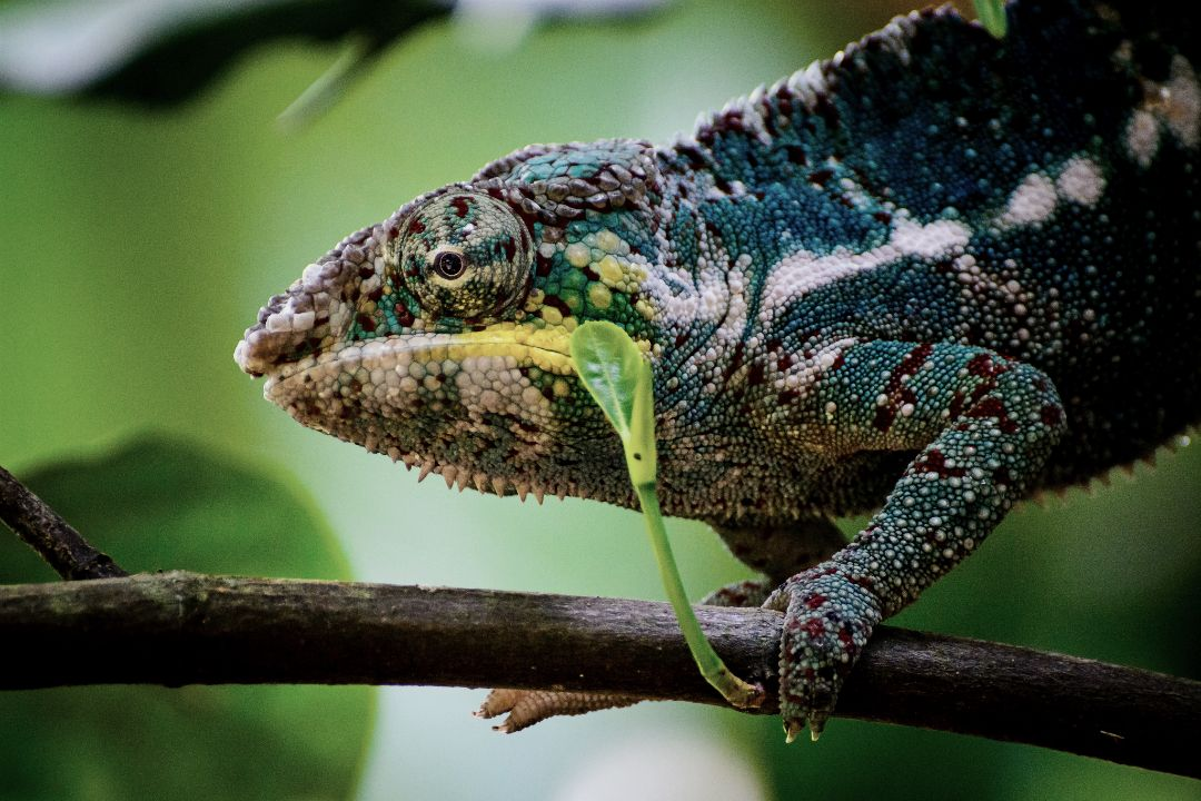 """lysistratalilac """" """"Panther Chameleon"""" by kuhnmi"""