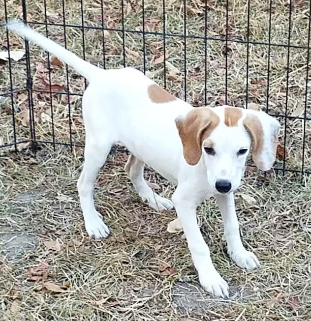 Adopt Jess Pending On Labrador Retriever Mix Labrador Retriever Retriever Mix