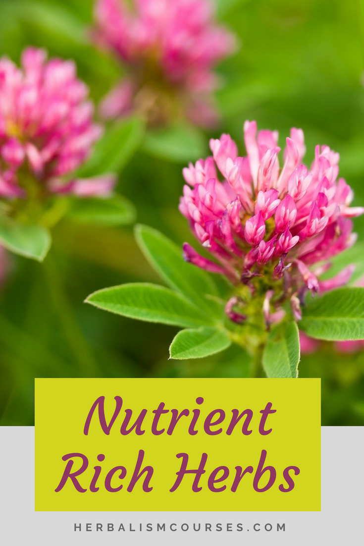 Red Clover Is One Of The Top Herbs High In Nutrition Most People Know This Medicinal Plant For Its Use Herbalism However It Rich Calcium