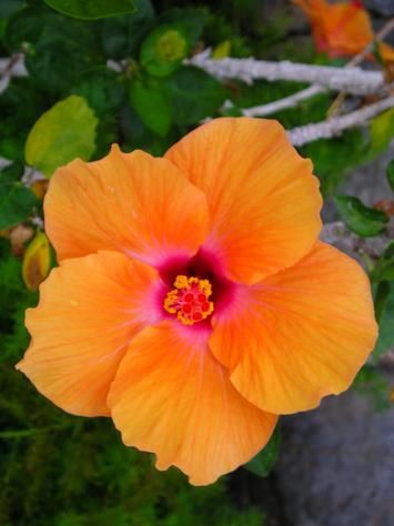 Hawaiian Sunset in a Hibiscus