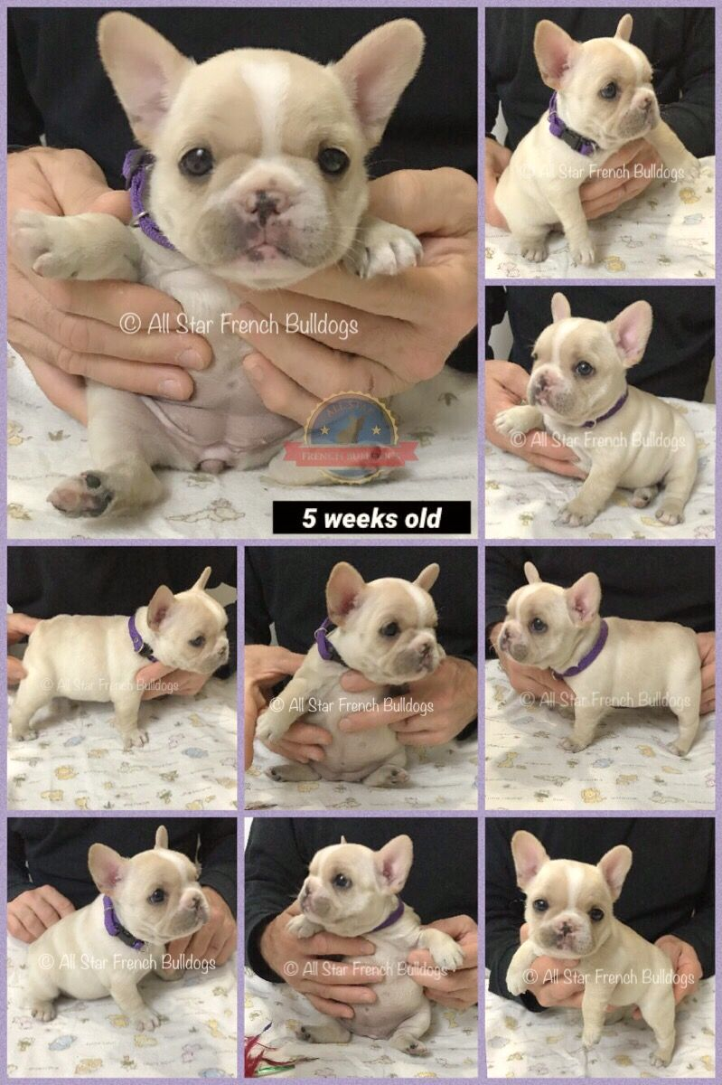 French Bulldog Puppies Akc French Bulldogs For Sale To Loving