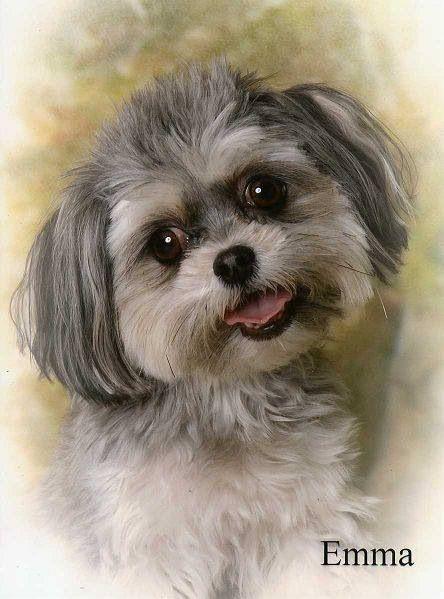 Bolonka Zwetna Honden Huisdieren Dieren