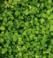 20 Corsican Mint Mentha Requienii Herb Fragrant Ground Cover Flower Seeds Gift Ground Cover Corsican Mint Flower Seed Gifts
