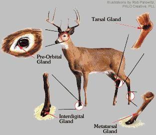 49++ Field dress a deer ideas in 2021