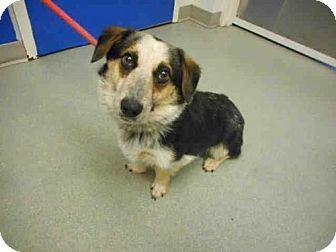 Pueblo, CO Pembroke Welsh Mix. Meet PEEPS, a dog