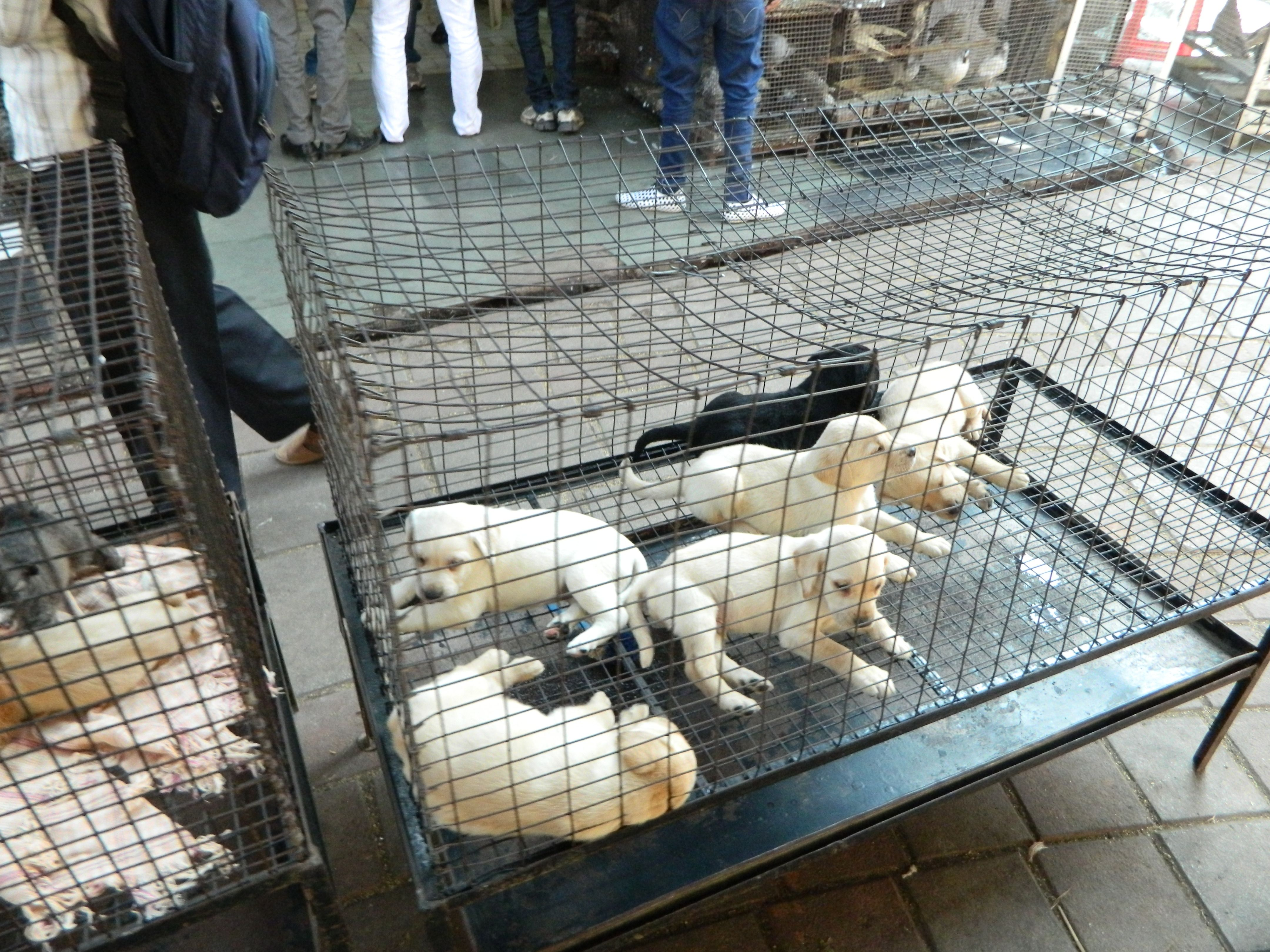 Pitbull Puppies For Sale California Craigslist Ideas