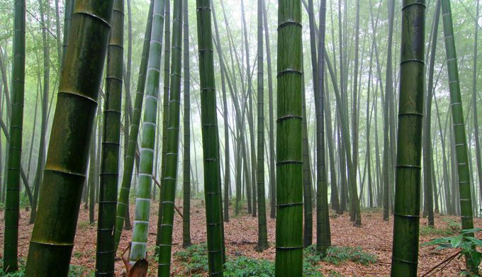 a forest of bamboo tree's