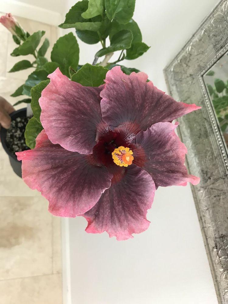 10 Pink Gray Purple Hibiscus Seeds Giant Hardy Flower Garden Exotic