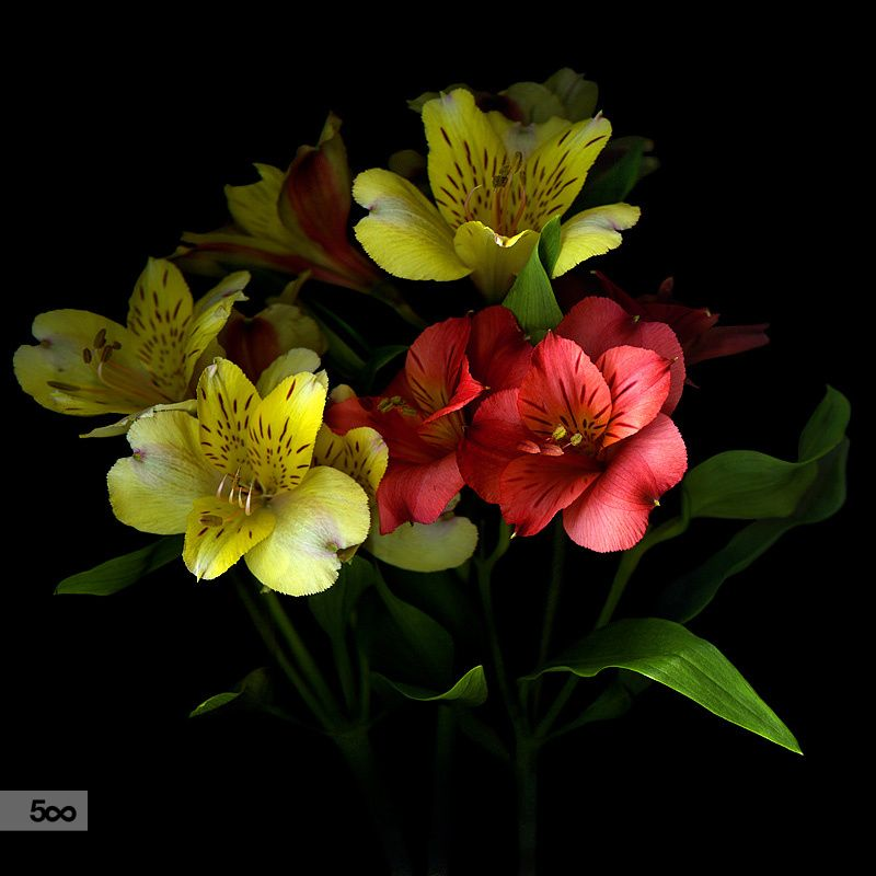 CELEBRATION... Alstroemeria by Magda Indigo on 500px