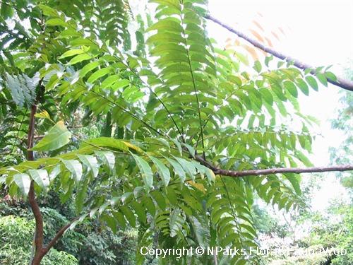 Azadirachta Excelsa Setang Tree Giant Neem Tree