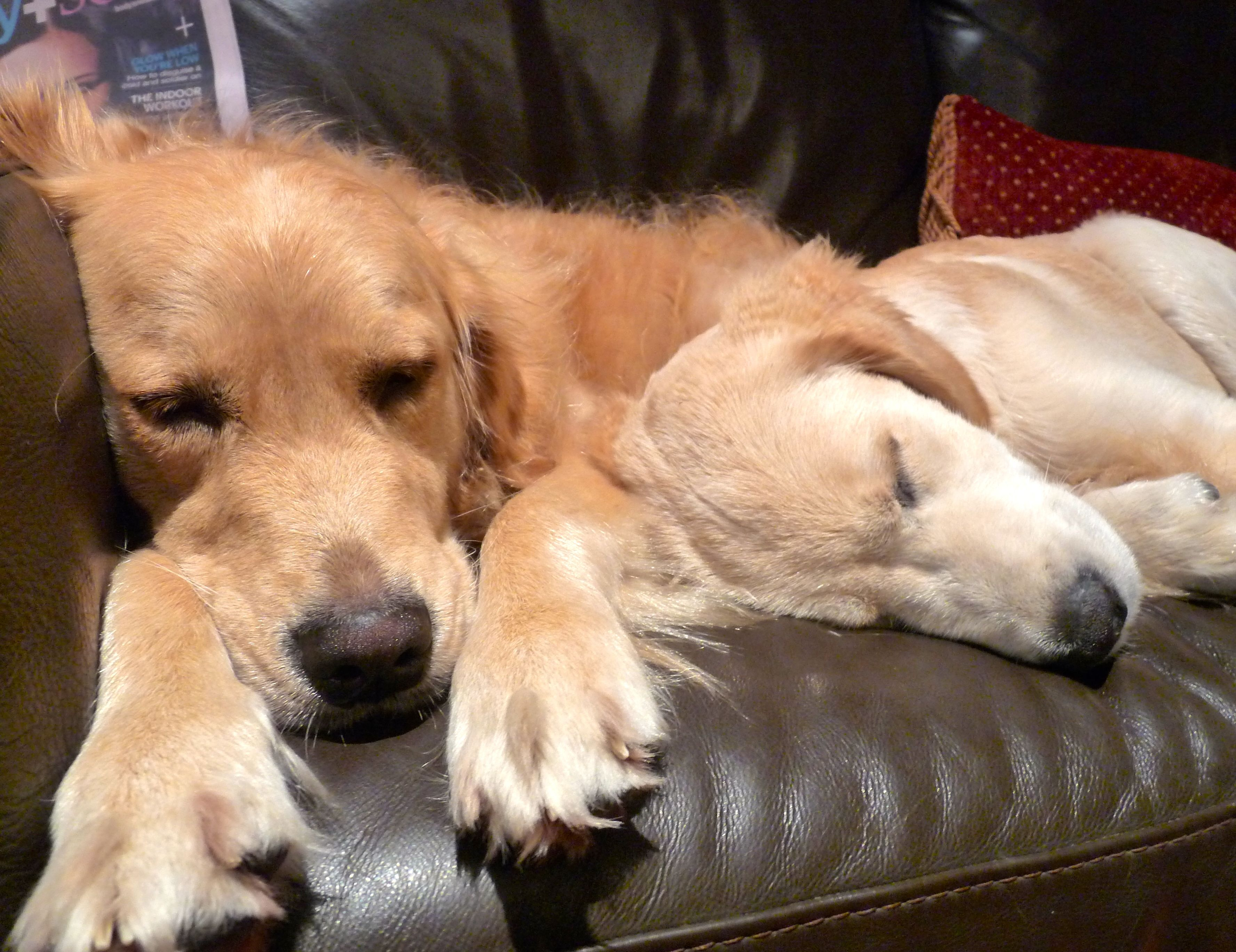 Couch potatoesthis is just what my golden loves to do