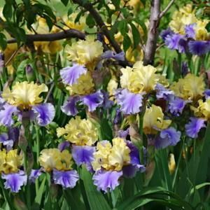 Tall Bearded Iris Iris Edith Wolford In The Irises Database Garden Org Iris Flowers Plants Iris Garden