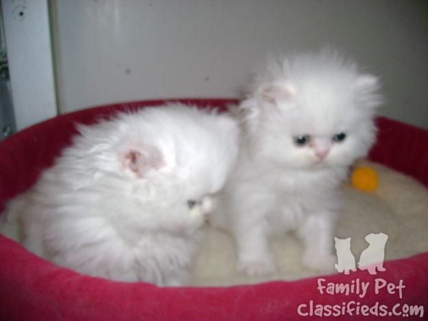 2 Persian Kittens Snow White With Blue Eyes Breed Cat Kitten Lives In Family They Are Just One Month Persian Kittens Teacup Persian Cats Persian Cats For Sale