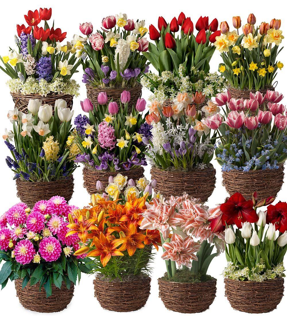 Twelve Months Of Flower Bulb Gift Gardens Ships Each Month December 2016 November 2017 Flowers Flower Bulb Gifts Bulb Flowers Flower Bulbs Garden