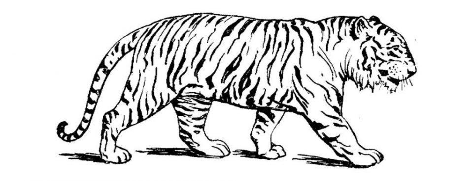 Dibujos De Tigres De Bengala Para Colorear Tiger Pictures Tiger Art Animal Drawings