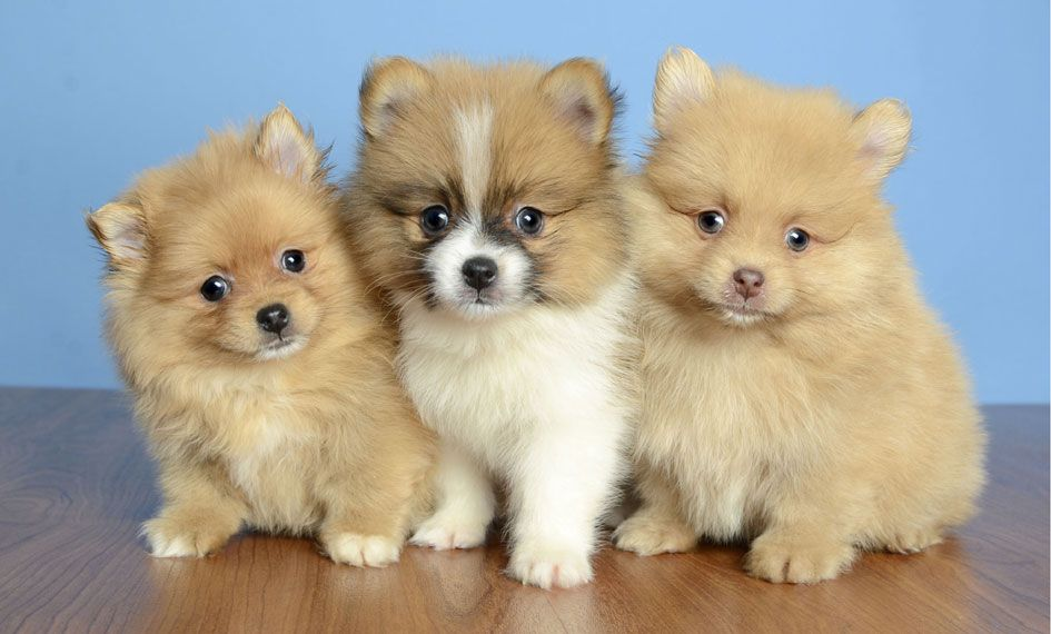 Puppies For Sale Orlando Fl Justpuppies Net Cute Teacup