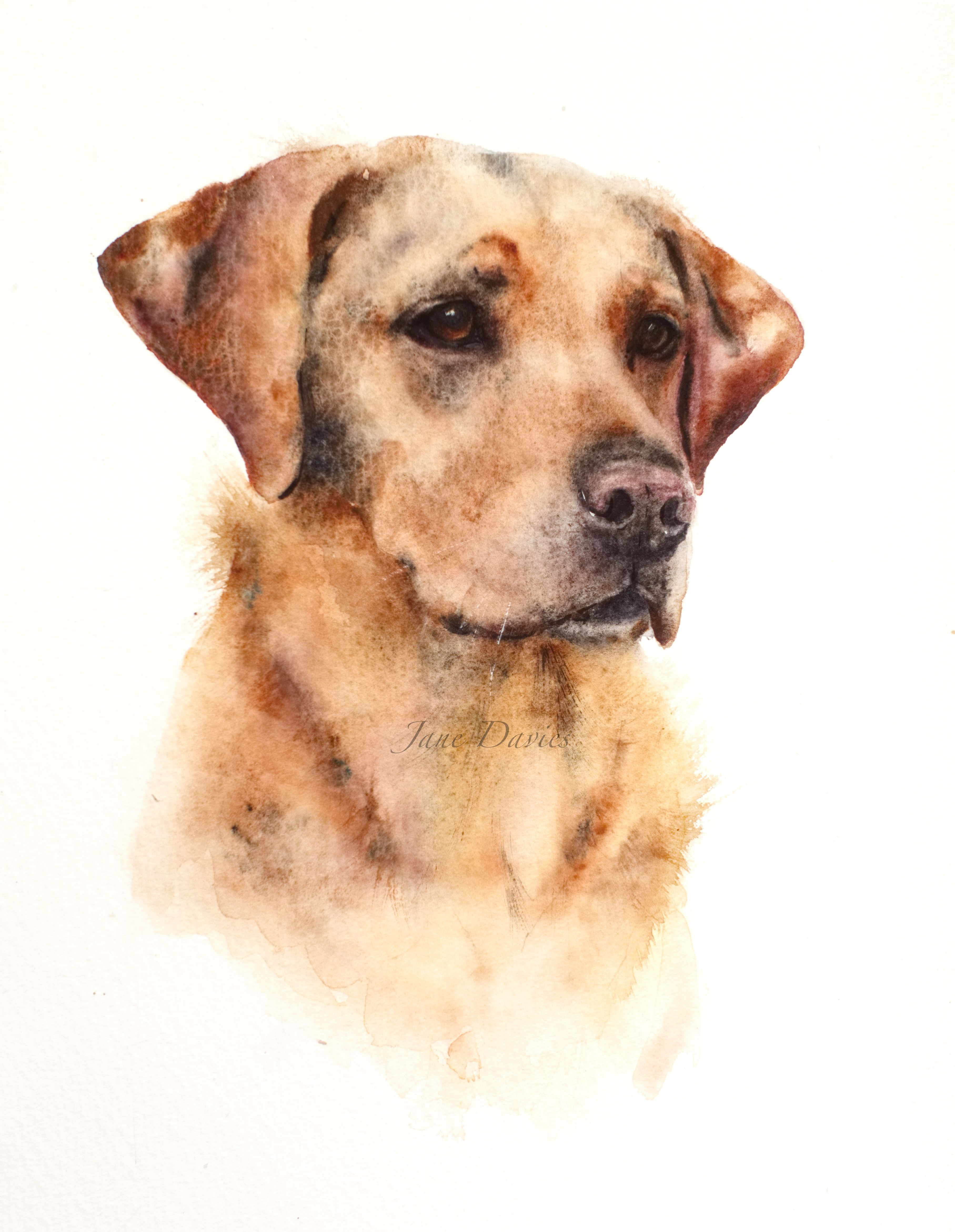 Pet Portrait Of A Labrador Painted By Watercolour Artist Jane