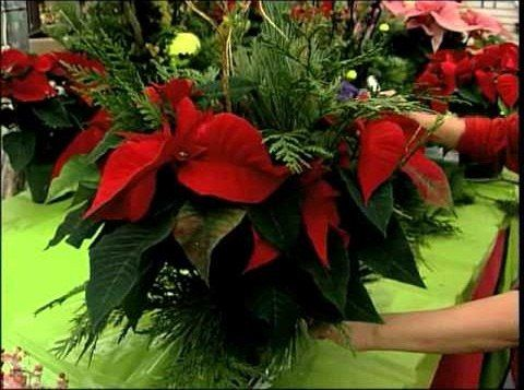 How To Dress Up Your Poinsettia With Golden Fabric Wrap Christmas Arrangements Centerpieces Church Christmas Decorations Christmas Arrangements