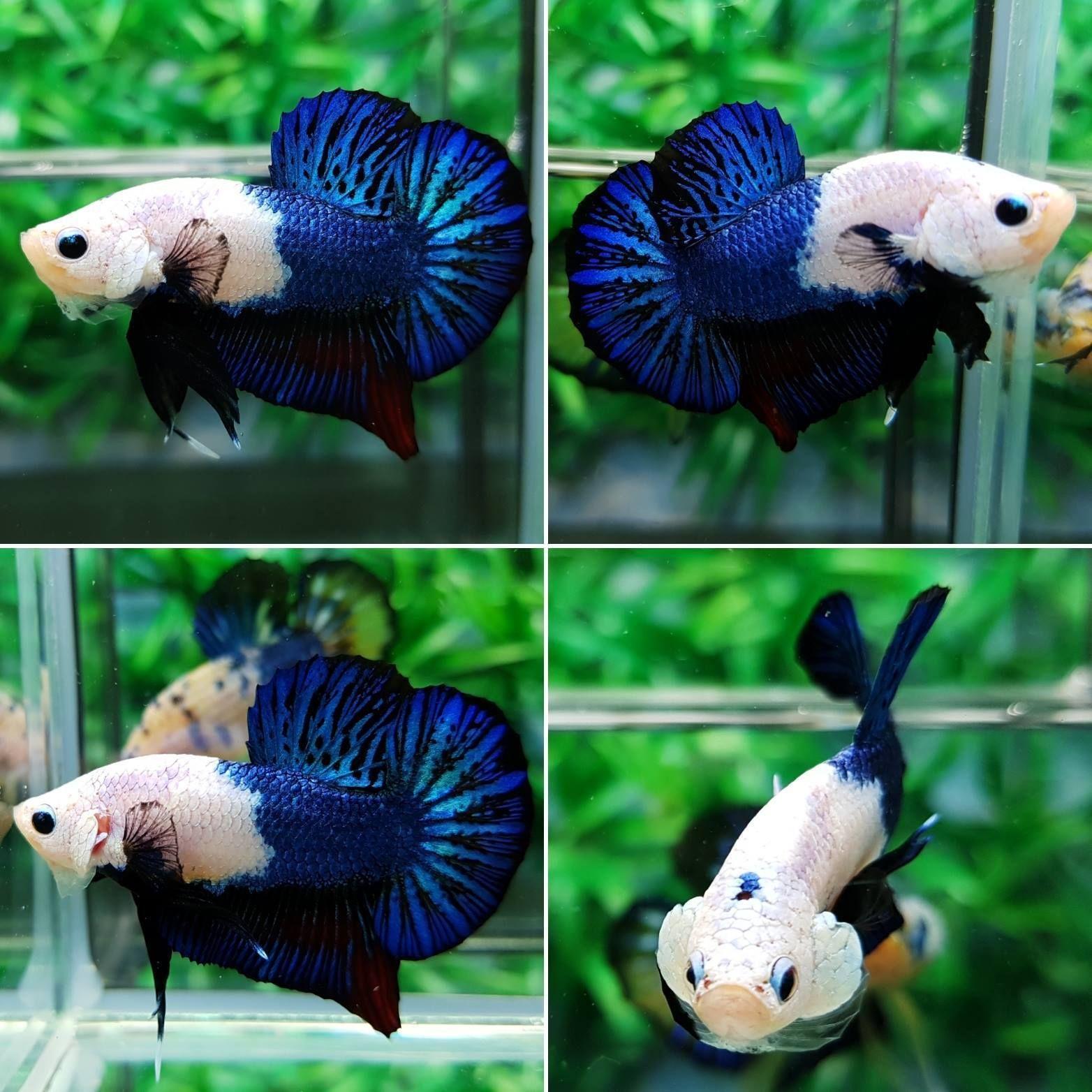 Imported HMPK Fancy Dragon Betta Fish MALE AMAZING COLOR | Common ...