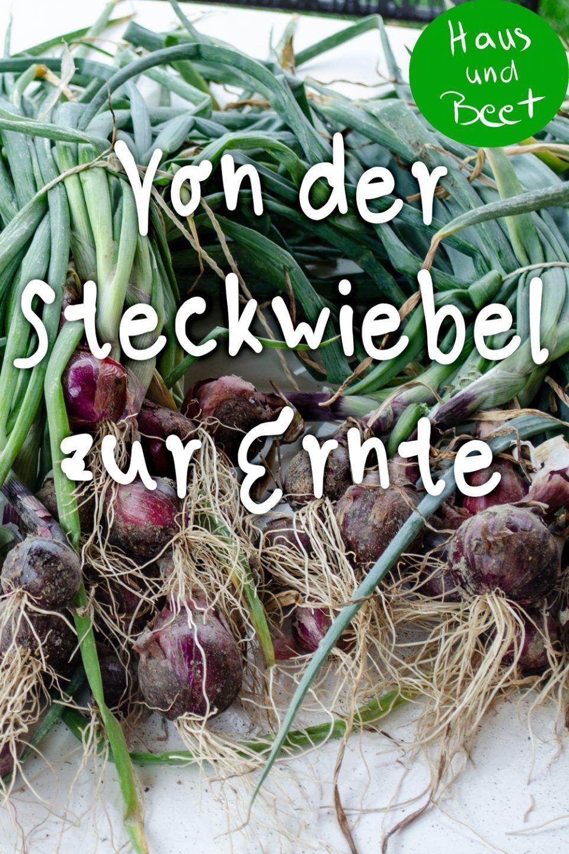 Zwiebel Anbauen Schritt Fur Schritt Anleitung Haus Und Beet Zwiebeln Anbauen Pflanzen Zwiebel Pflanzen