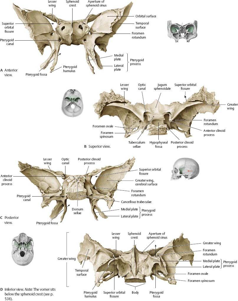 Sphenoid Bone | nursing info | Pinterest | Sphenoid bone, Anatomy ...
