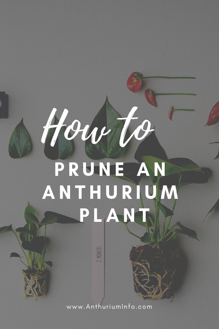 How To Prune An Anthurium Pot Plant A Few Tips Anthurium Plant Anthurium Anthurium Flower