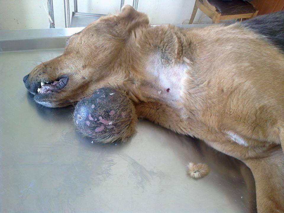 Cba Dog S Cancer