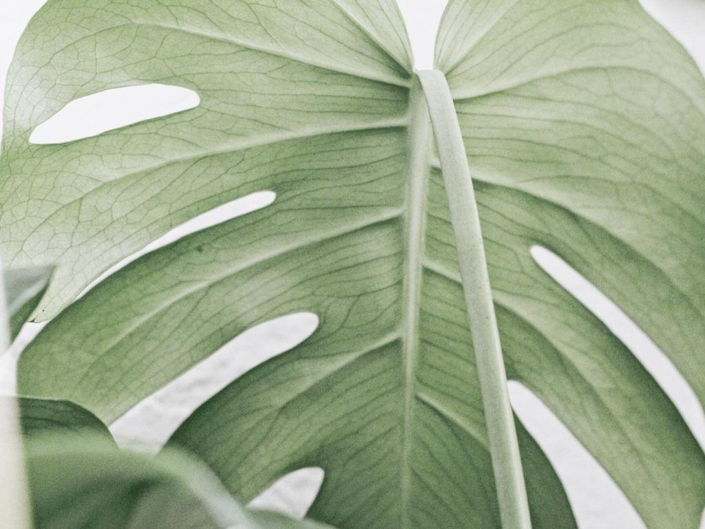 Photo of Monstera Propagation (Cutting, Separating and Air Layering)