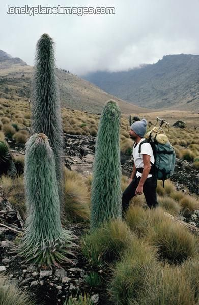 Lobelia Telekii Mount Kenya Cool Plants Plants Cool