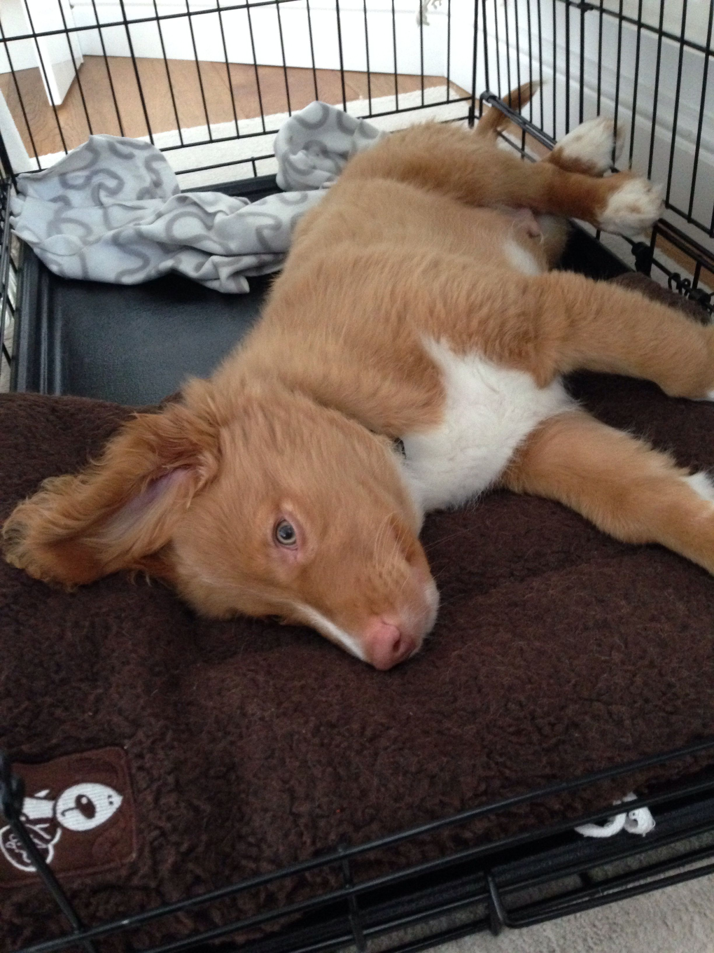 Nova Scotia Duck Toller Pup 12 Weeks Sleepy Boy Nova Scotia Duck Tolling Retriever Nova Scotia Duck Tolling Pup