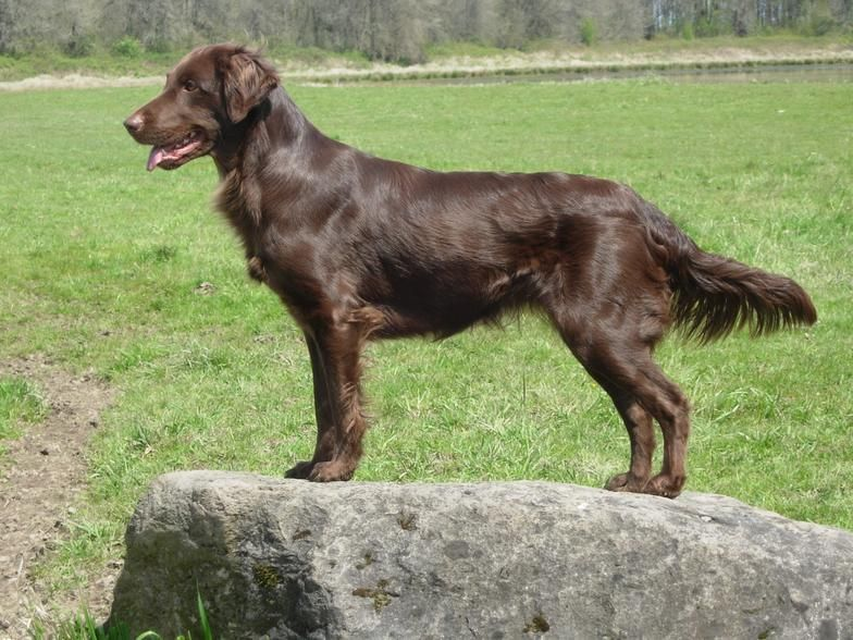 Liver Colored Flat Coated Retriever (With images) Flat