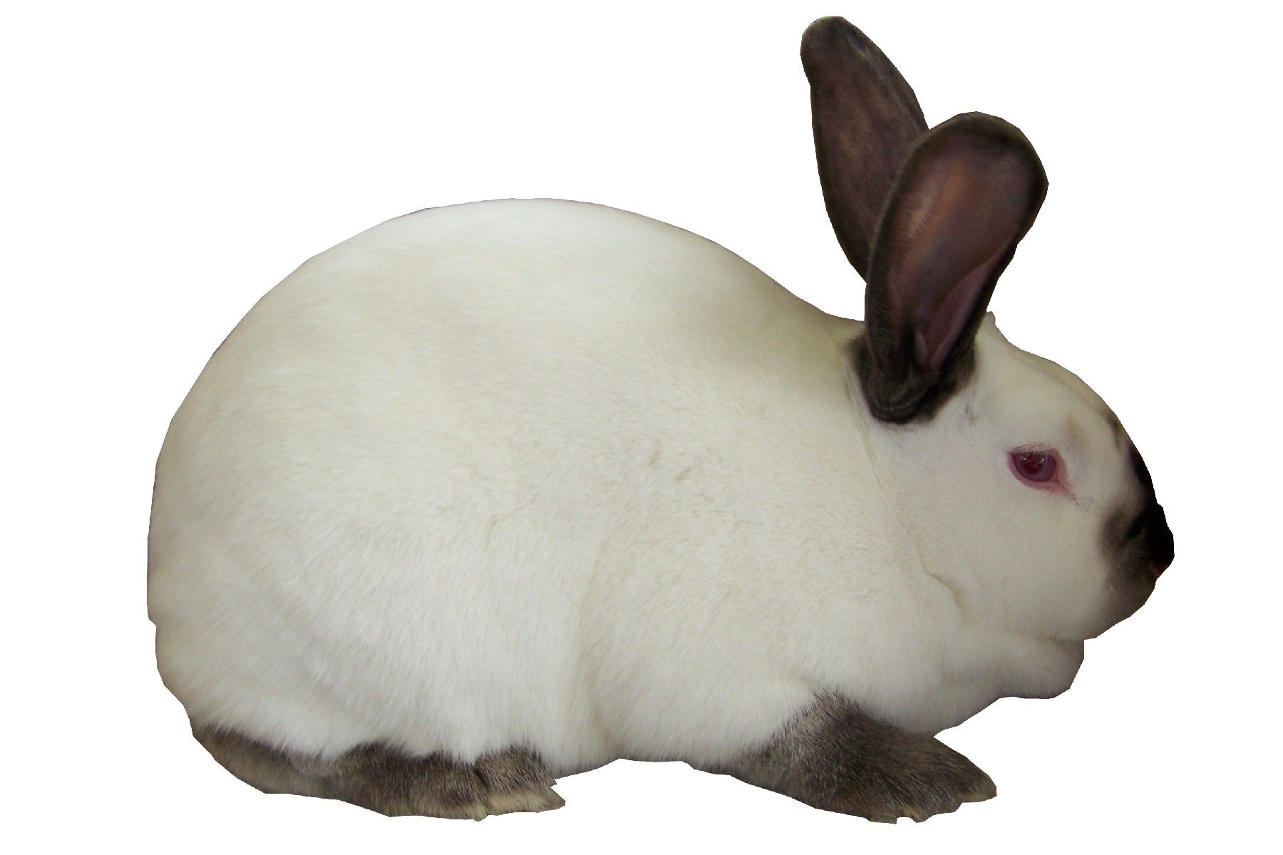 Rabbits of the Californian breed: breeding, description and features of the contents