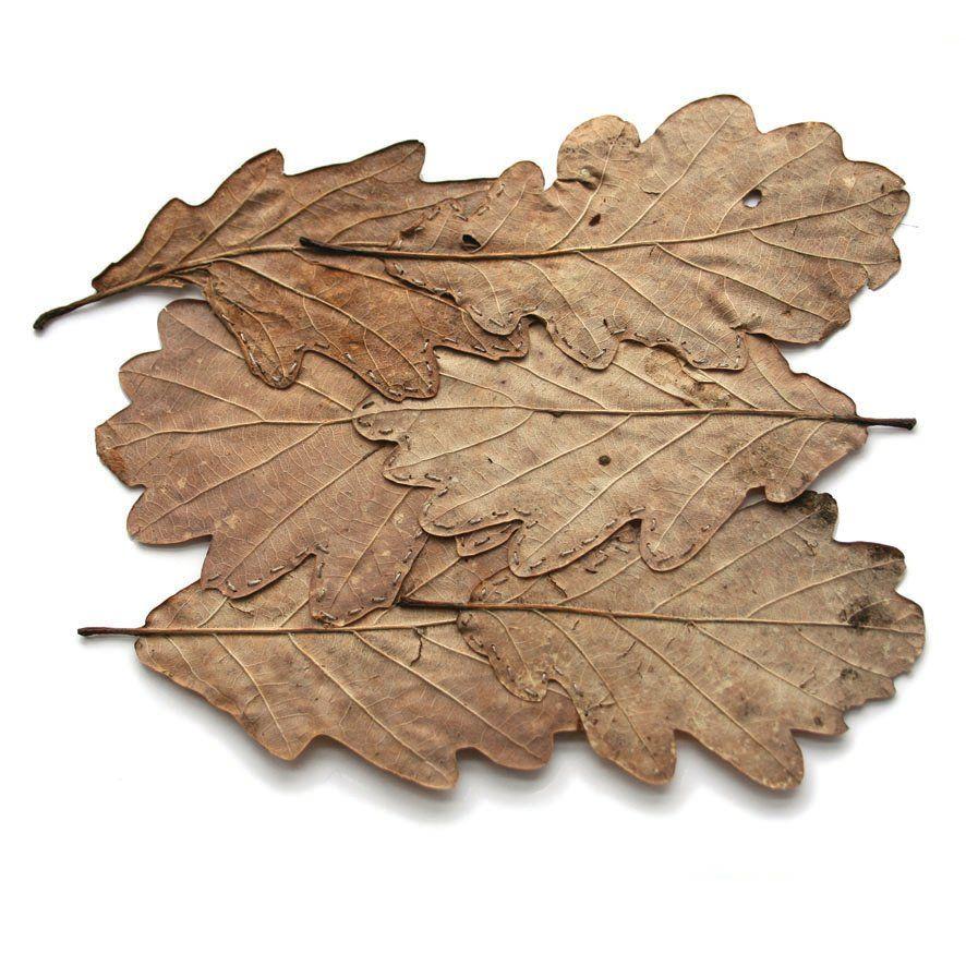 картинка коричневый лист дуба цитрусовым вкус блюда
