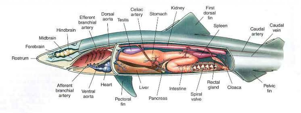 Great White Shark Anatomy Diagram System | Livers | Pinterest ...