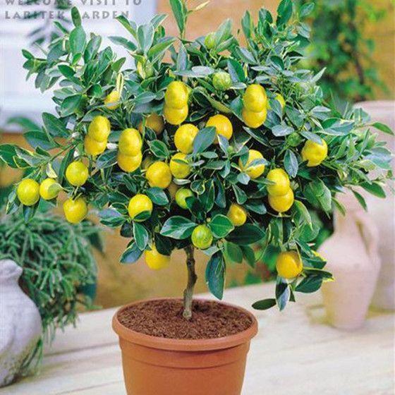 20pcs Lemon Tree seeds fruit seeds bonsai plant DIY home garden