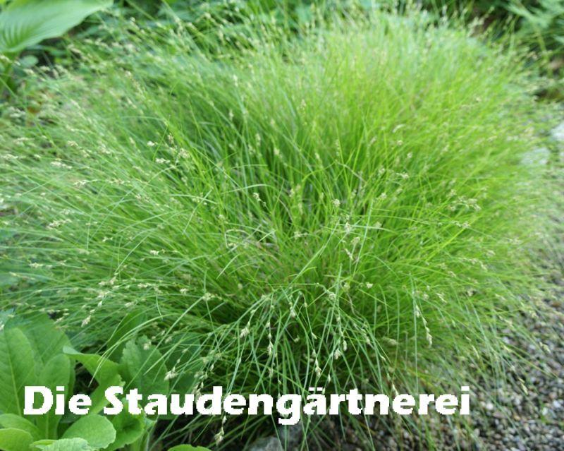 Hortensien Im Schatten carex remota 3 00 farbe grün wintergrün höhe 30m schatten