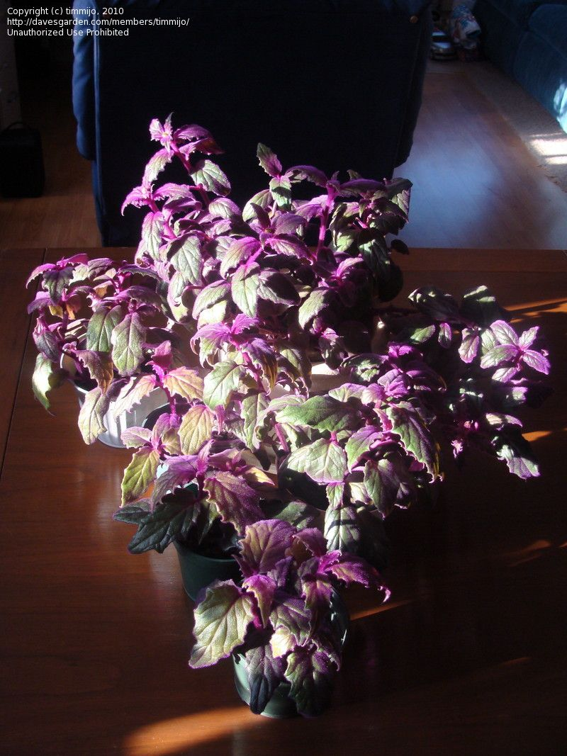 Full size picture of Purple Velvet Plant, Velvet Plant ... Purple House Plant With Velvety Leaves on house plants with light green leaves, house plants with shiny leaves, house plants and their names, house with red flowers, wandering jew with fuzzy leaves, house plants with waxy red blooms, olive tree green leaves, florida plants with red leaves, tomato plants with purple leaves, house plants with small leaves, perennial plants with purple leaves, house plants with long green leaves, house plants with colorful leaves, poisonous plants with purple leaves, house plant rubber plant, house plants with bronze leaves, house plants with dark red leaves, house plant purple heart, purple house plant fuzzy leaves, purple foliage plants with leaves,
