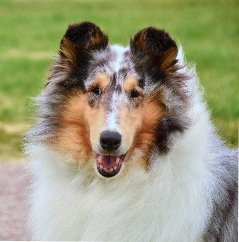 Headline Collies Collie Breeder In Grand Blanc Michigan Dog