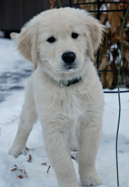 Wilco The Golden Retriever Cute Puppy Breeds Retriever Puppy Dogs