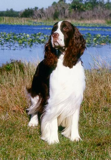 Springer Spaniel With Images English Springer Spaniel Springer Spaniel Spaniel