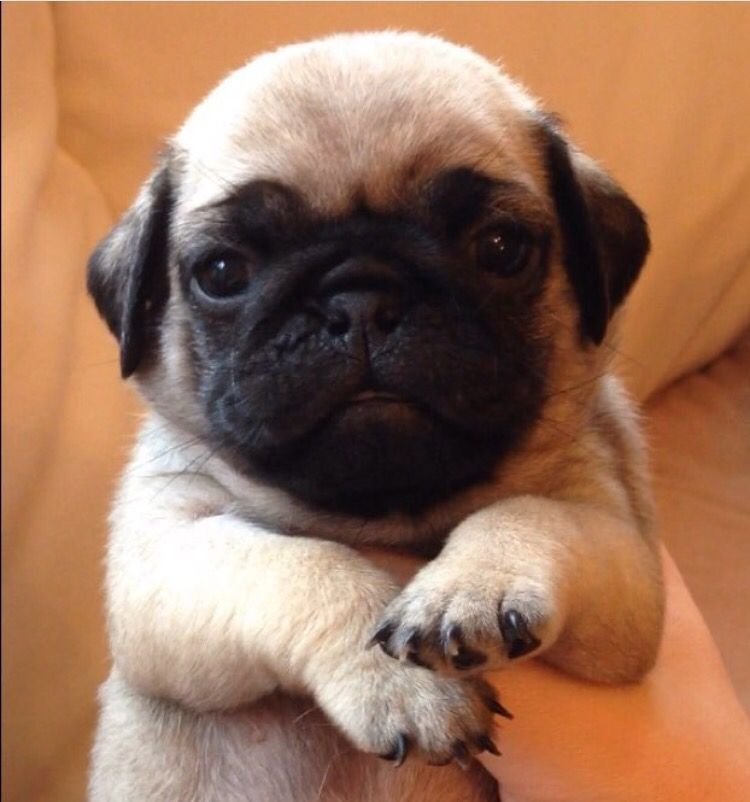 Baby Pug Cute Pugs Cute Pug Puppies Baby Pugs